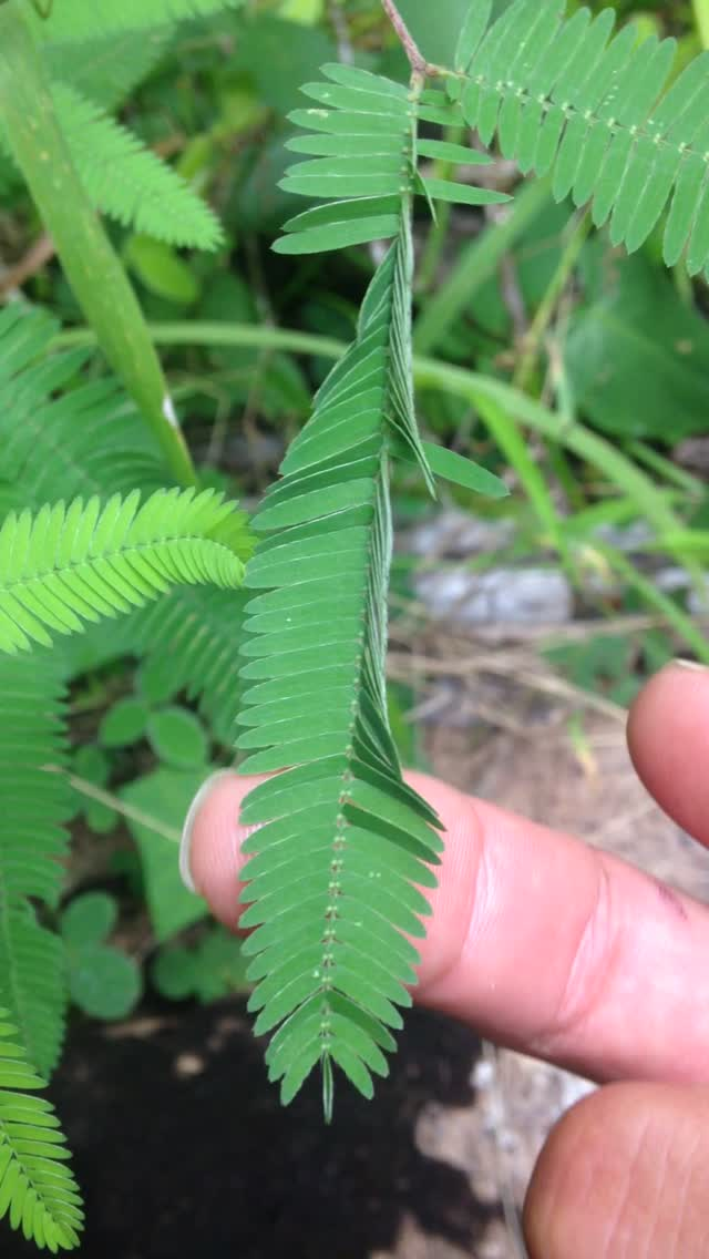 Jungle Fern Moving