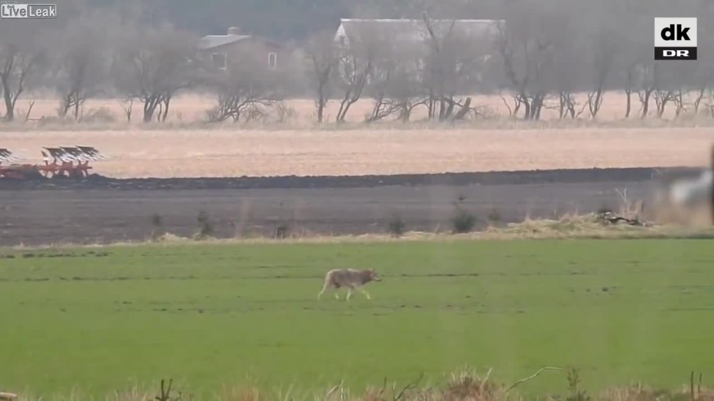 Dänemark: Hobby-Jäger erschiesst Pionier Wölfin
