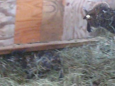 Soay lamb headed for first meal