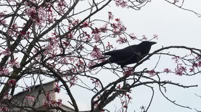 Mavis Collecting Twigs in Blossom Tree Apr3