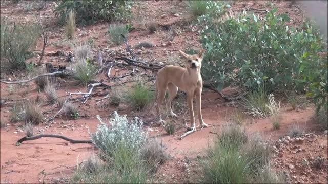 dingo desert australie