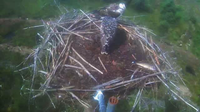30 July: Blue BV eats a fish on Nest 2
