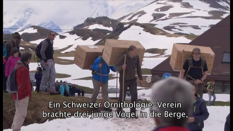 Bartgeier Schweiz