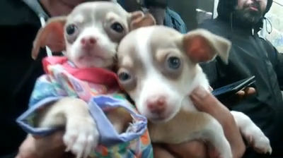 Man Selling Chihuahuas On NYC Subway – MY SMALL STORY: Over