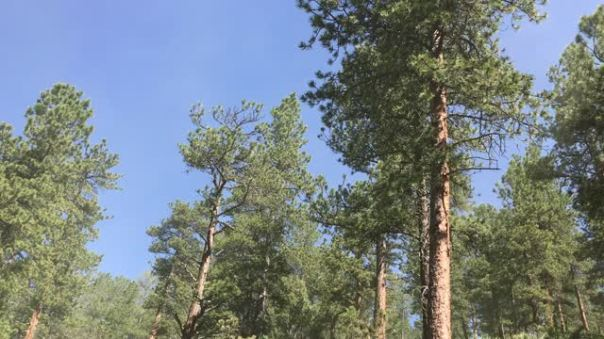 Pine pollen – everything you didn't know about pine trees | A
