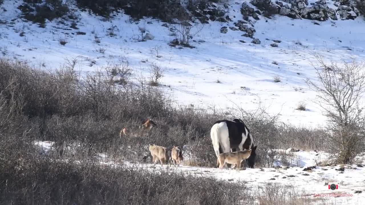 Abruzzen Pferd und Wolf