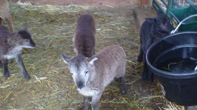 Lambs in the nursery