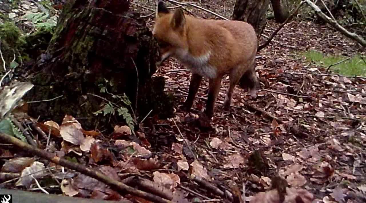 Fox Scent marking 2 Jan 21