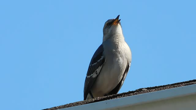 A Mockingbird Was Singing Full Blast On My Roof And I Took Video Some Pictures Hope You Enjoy Listening To This Mockingbirds Beautiful Song