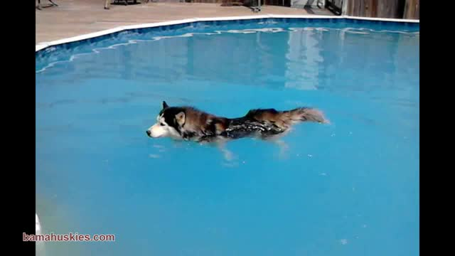 Husky Dog Nick Opens The Pool – Siberian Husky Puppies For Sale