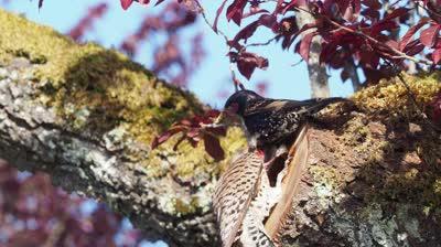 starling attacks flicker nest Apr 201-9