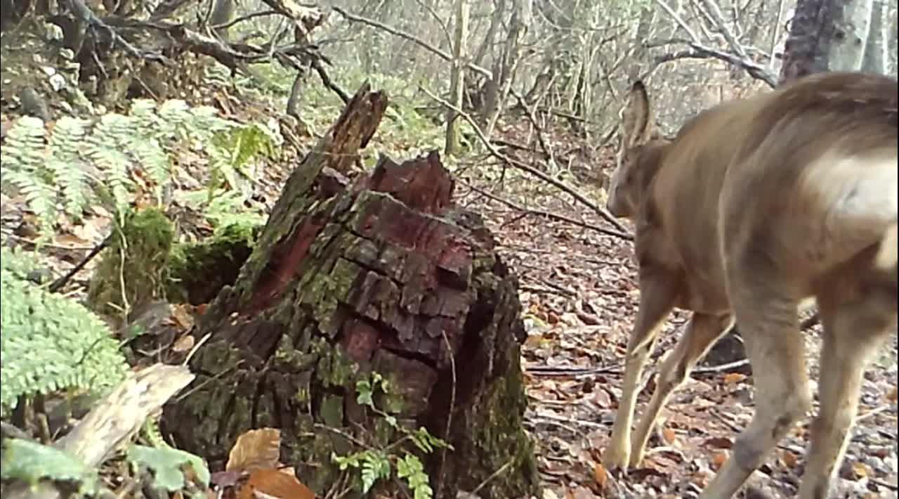 Roe deer steaming 28 Dec 20
