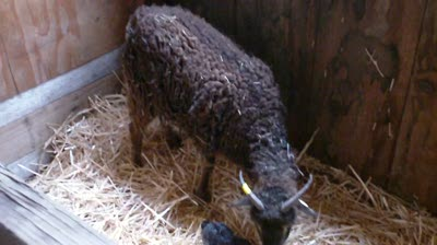 Patterdale's first lamb
