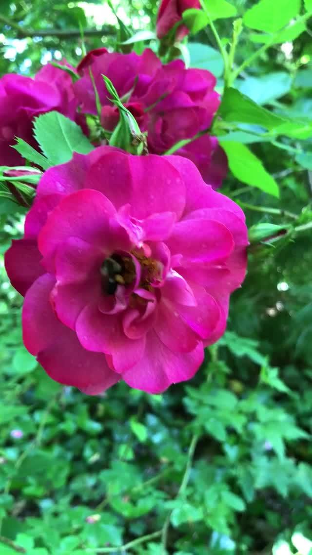 Bumble Bee enjoying a rose blossom.