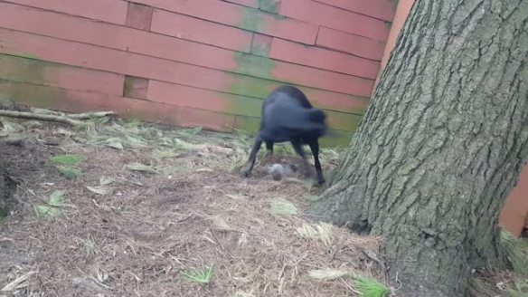Olly playing with a rock