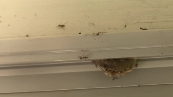 Praying Mantis Hatching From The Egg Sack On Our Back Doorway