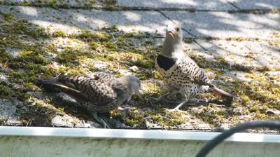 Baby Flicker and Mom on Studio Roof