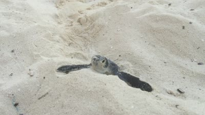 Sea turtles along the cancun beaches in mexico pie lady life publicscrutiny Gallery