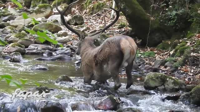 Hobby-Jäger zerschiessen Vorderbeine von Hirsch