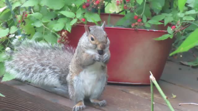 Eastern Gray Squirrels: Tree Planters and Survivalists