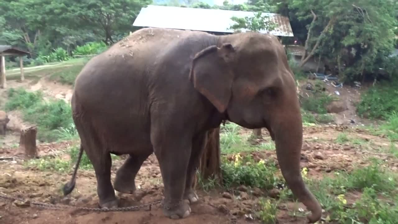 The truth about elephants in thailand 33andfree buycottarizona